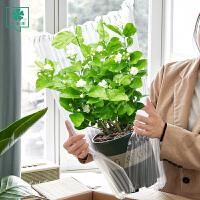 茉莉花盆栽室内四季开花植物花卉绿植虎头茉莉盆栽