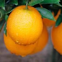 赣南脐橙产地果径75-80mm20斤装果园直采应季新鲜水果精品手剥脐橙包邮