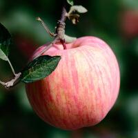 【包邮】山东烟台栖霞红富士苹果5斤 肉厚脆甜多汁 新鲜水果平安果