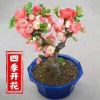 四季海棠花盆栽树苗重瓣花卉盆景老桩庭院绿植物室内外开花不断