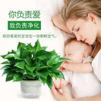 新款 除净化空气绿萝盆栽室内植物绿植180长藤绿箩新房家用吸甲醛
