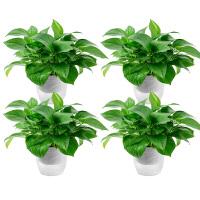 绿萝盆栽植物室内空气水培绿萝花卉绿植办公室盆栽大绿箩