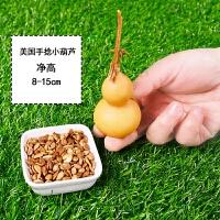 小葫芦种子特大葫芦籽天然把玩盆栽手捻小葫芦种子