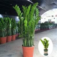 金钱树盆栽摇钱树钱串子室内客厅大型绿植物花卉观叶四季长青好养