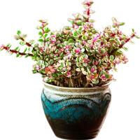 金枝玉�~花卉�^花植物室�然ㄋ募鹃_花花卉植物盆栽