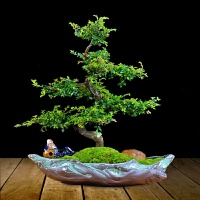 小叶榆树盆景室内卧室植物盆栽绿植 带盆栽