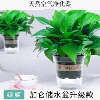 绿萝盆栽室内垂吊花卉水培植物吊兰绿植吸甲醛净化空气大绿箩长藤