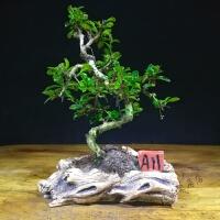 盆景树桩老桩盆栽盆景室内盆栽盆景 褐色 S福建茶A11 带盆栽