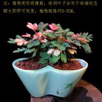 彩叶含羞草盆栽害羞草绿植花卉办公室内防辐射阳台迷你趣味小植物 含盆