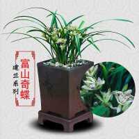 兰花苗绿植盆栽建兰富山奇蝶花卉浓香型鲜花室内植物盆景摆件好养