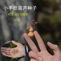 天然手捻葫芦种子特大中小天津嘴文玩葫芦籽阳台观赏葫芦盆栽