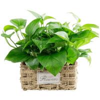 室内空气水培花卉绿植办公室盆栽吊兰大绿萝