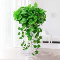 大叶绿萝盆栽室内长藤垂吊植物大盆绿箩吸甲醛吊兰水培花卉绿植