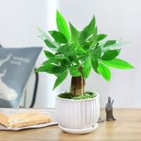 发财树植物室内客厅小盆景四季常青办公室招财小盆栽花卉绿植