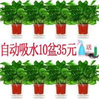 除吸甲醛绿萝盆栽净化空气绿箩植物室内水培好养花卉吊兰绿植