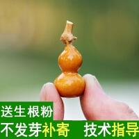 天然文玩把玩手捻小葫芦种子特大葫芦亚腰葫芦种子3-50厘米